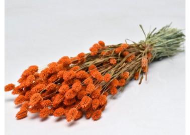 Botte de Phalaris séché Orange - Decofleur