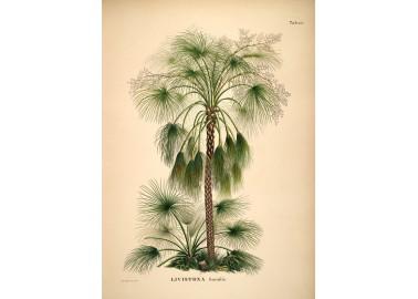 Affiche Livistona humilis 30x40 - The Dybdahl Co