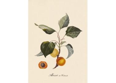 Affiche Abricot 30x40 - The Dybdahl Co