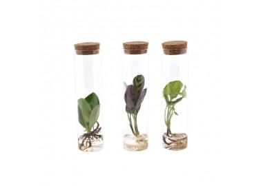 Clusia en tube - Plantophile