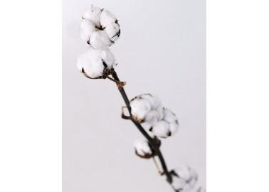 Branche de coton - Decofleur